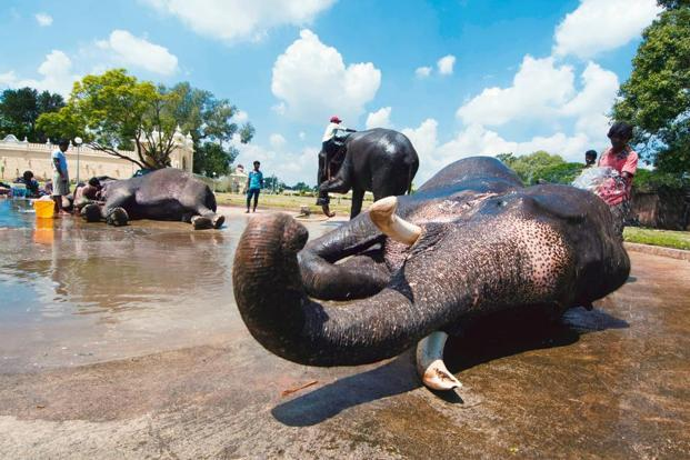 The elephants are bathed by their mahouts. It's a daily ritual after the morning walk and is said to increase the bond between the mahout and the elephant. Photo: Aniruddha Chowdhury/Mint